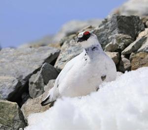 4月の残雪期に見た白いオスのライチョウ(北アルプス)