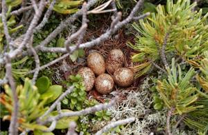 ハイマツの中につくられた巣と卵(南アルプス)