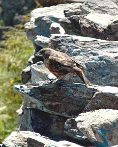 花と鳥:北岳の稜線付近で多く見られるイワヒバリ。愛らしい姿に心が癒やされる