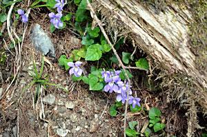 薄い紫色の花を咲かせるタチツボスミレ