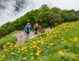 <シナノキンバイ> シナノキンバイの花畑に囲まれた道を歩く登山者。足を止め、カメラを構える人の姿が多く見られた