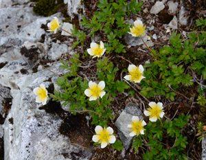 <チングルマ> 北岳の稜線付近で岩場に咲くチングルマ。黄色い雄しべが多数あるのが特徴で、遠目では薄黄色の花に見える