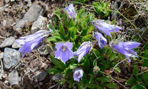 <チシマギキョウ> 釣り鐘状の青っぽい花を咲かせるチシマギキョウ。八ケ岳などでも見ることができる