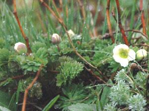 北岳山頂付近の南東斜面に咲くキタダケソウ。周辺にはつぼみもあり、開花を待つ