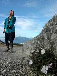 滅危惧種に指定されている高山植物「タカネビランジ」。岩場に白やピンク色の花を咲かせる