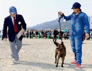 韮崎市内で開かれた甲斐犬展覧会(4月)