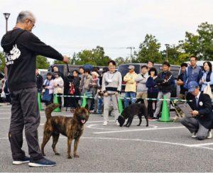 大勢のギャラリーが見つめる中で行われた甲斐犬展覧会=南アルプス市櫛形総合公園西側エリア