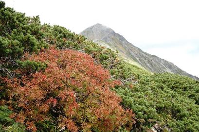 北岳山荘近くのナナカマド